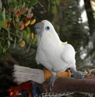 well trained male and female 2 Year Old Umbrella Cockatoos birds