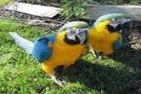 Talking Hyacinth Macaw Parrots for Adoption