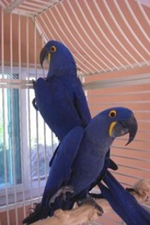 Cute Pair Of Macaw Birds.