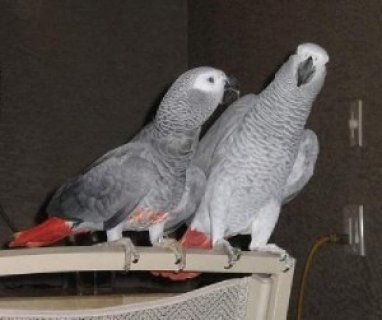 African Grey Parrots for Adoption.