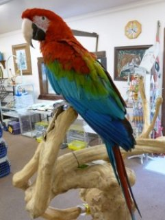 GREEN WING MACAW\'S (HAND RAISED BABIES)