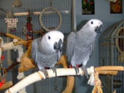 Beautiful African Grey Parrots Available