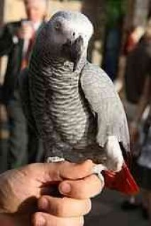 Perefect AKC African grey parrots for adoption