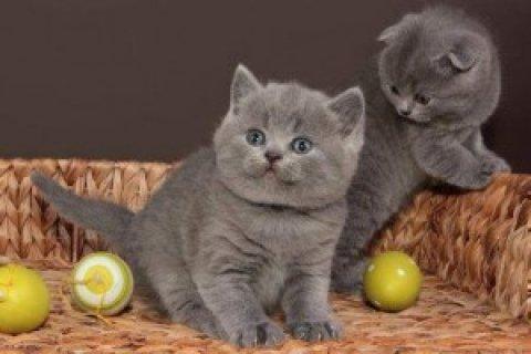 British Short/Long Hair Kittens For Sale