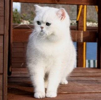 صور Hansom little Persian Kitten for good home 1