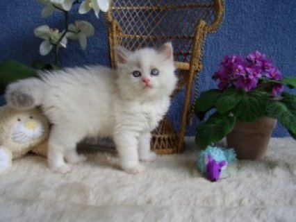 Five Ragdoll kittens ready