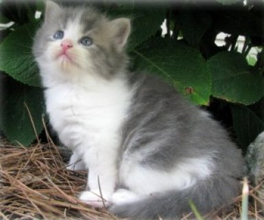 cute and beautiful blue point persian kitten for adoption