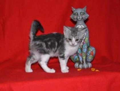 ..House Trained Scottish Fold Kittens For Sale...