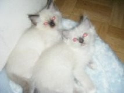 LOVELY PEDIGREE RAGDOLL KITTENS FOR ADOPTION
