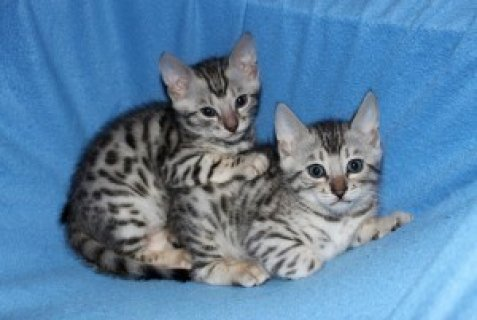 Bengal kitten is now ready to go Homes(contact for more informat