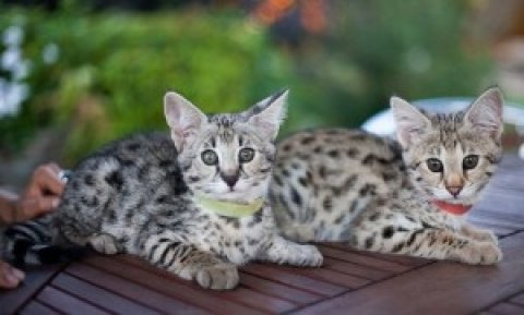 male and female F1 Savannah kittens
