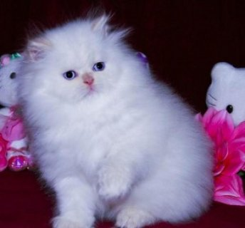 Adorable and Friendly Persian Kitten To A Loving Home