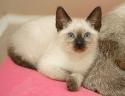 QUALITY Male And Female Siamese Kittens Ready