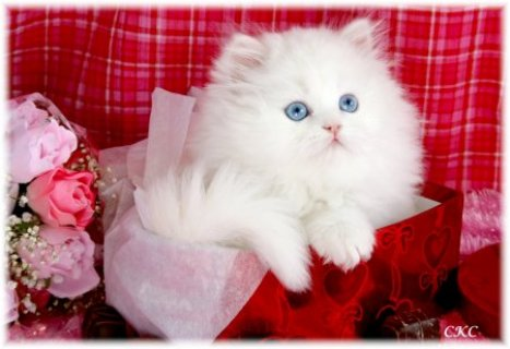 Persian kitten for adoption