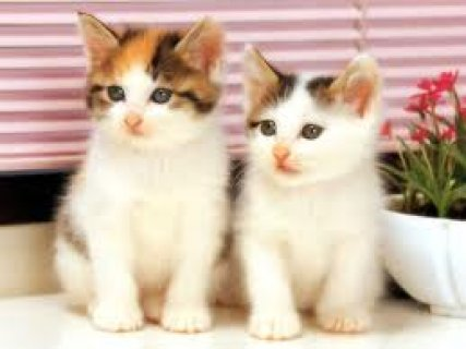 white american shorthair cates for sell