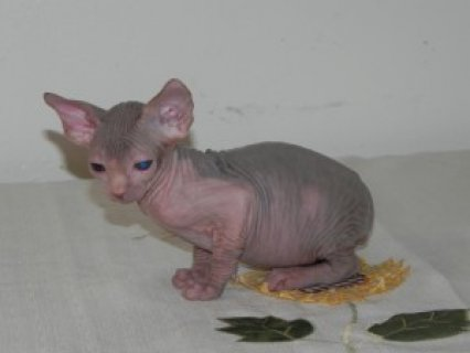 Gorgeous Sphyxns kittens for sale