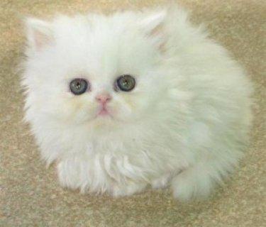 Beautiful Pure white loving Persian ...