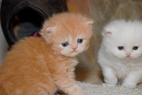 Sweet PERSIAN Kittens for adoption