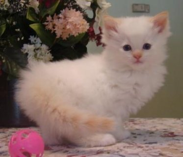 Rag Doll Kitten