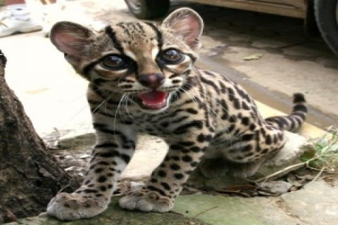 Lovely Margay Cats