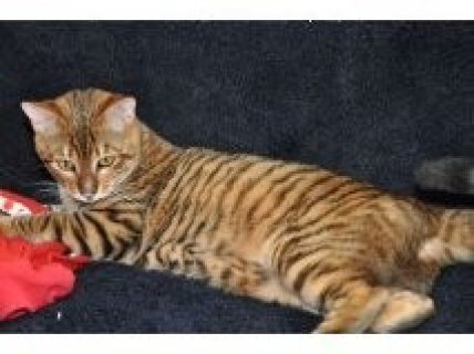 Three bengal kittens for sale