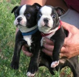 Rare Triple Carrier Boston Terrier