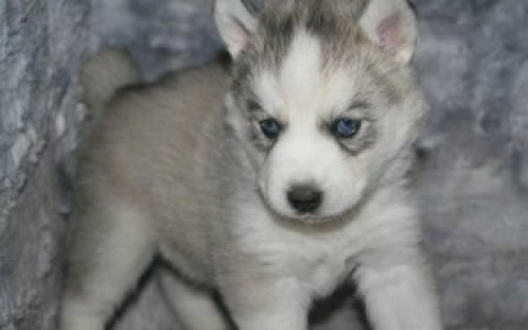 Black and White Blue eyes Siberian Husky Puppies available