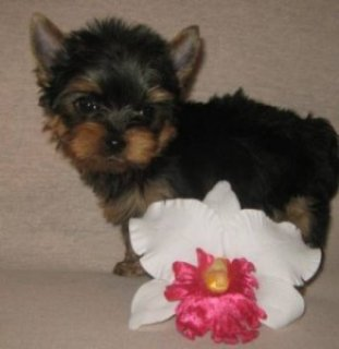 Purebred Yorkshire Terrier Pups