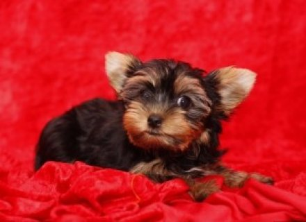 Amaizing Yorkie for Sale