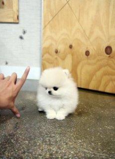 Gorgeous Pomeranian Pups - Free