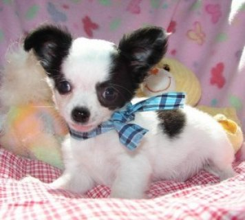 Chihuahua Puppies for You