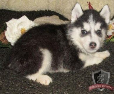 Wonderful And Charming Siberian Husky Puppies For Sale