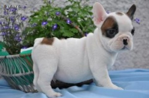 Super Cute French Bulldog Puppies Available