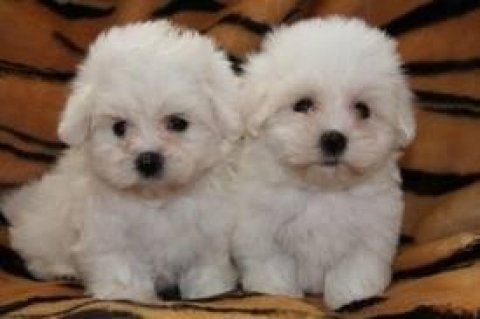 Tea-cup Maltese pups