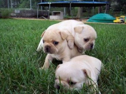 Excellent Pug Puppies for Sale