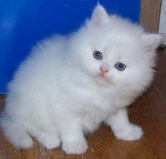 We have beautiful, healthy Persian kittens