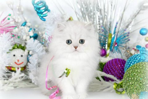 Teacup Persian Kttens for Sale