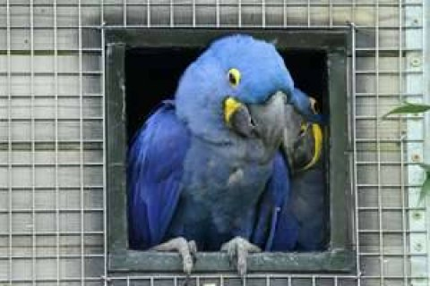 Young Pair Hyacinth Macaw for sale5