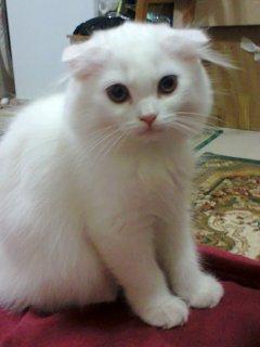قطه عمر اربع شهور اذن صغيرة متدلية نظيفة ولعوب جدا
