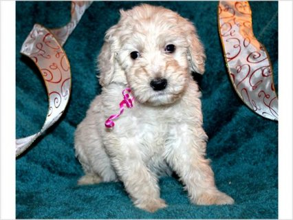 Goldendoodle Puppies ADORABLE for Sale