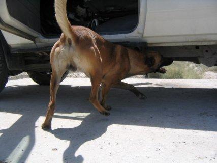 كلاب العثور على القنابل والمتفجرات