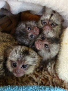 صور Marmoset monkey babies 1