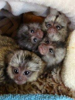 Marmoset monkey babies