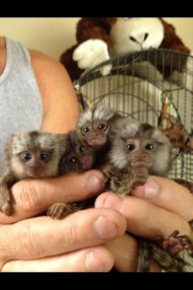 صور Marmoset monkey babies 2