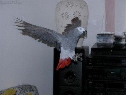 Talking African Gray Parrots for Adoption
