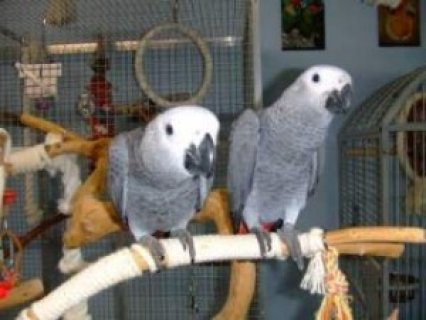 Adorable, Tame, 2 yr African Grey Parrots for Sale