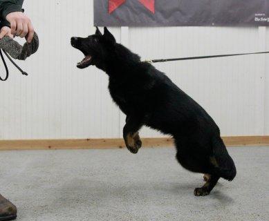 Trained German shepherd dog/puppy Male
