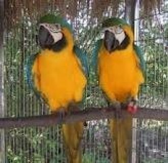 Playful Adorable male and female African grey parrots for adopti