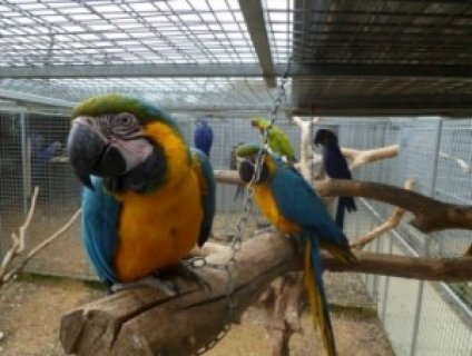 Free Macaw Parrots
