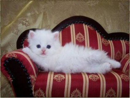 صور loovely persian kittens for rehoming 1